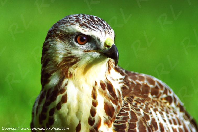 Buse variable,rapace