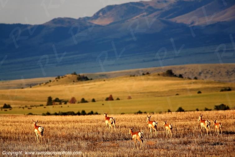 Pronghorns Canyon Ferry Montana USA www.remylacroixphoto.com