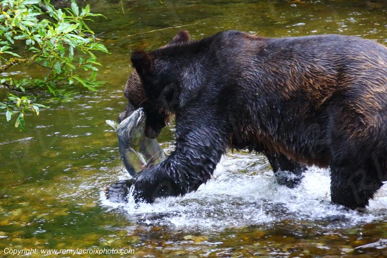 Grizzly à la pêche au saumon,Fish Creek,Alaska,USA