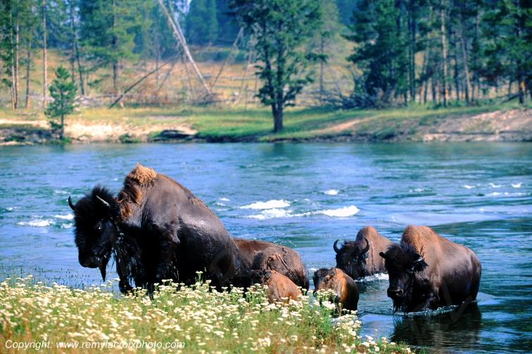 American buffaloes bisons d'Amérique Yellowstone river
