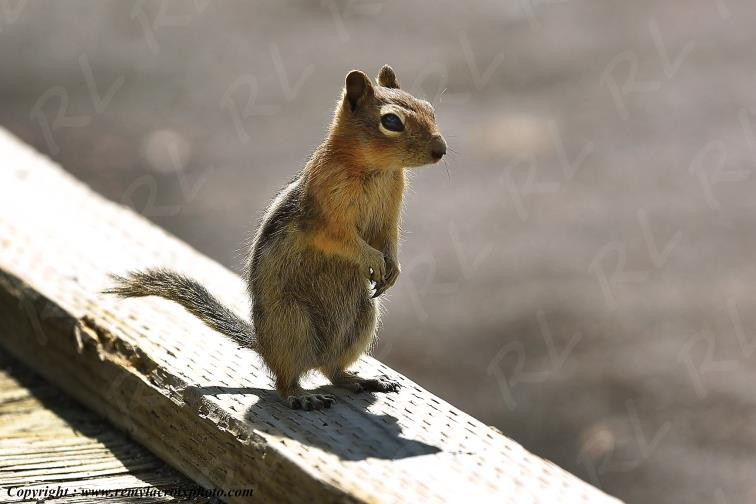 Golden-mantled Ground Squirrel,Yellowstone Nat'l Park,WY,USA