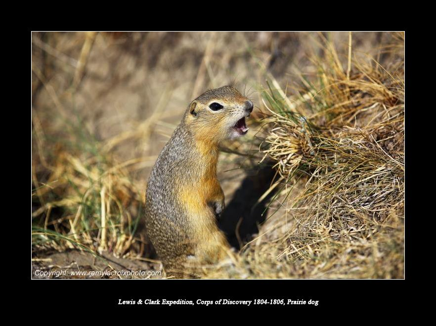 Lewis & Clark Expedition Corps of Discovery 1804-1806 Prairie Dog