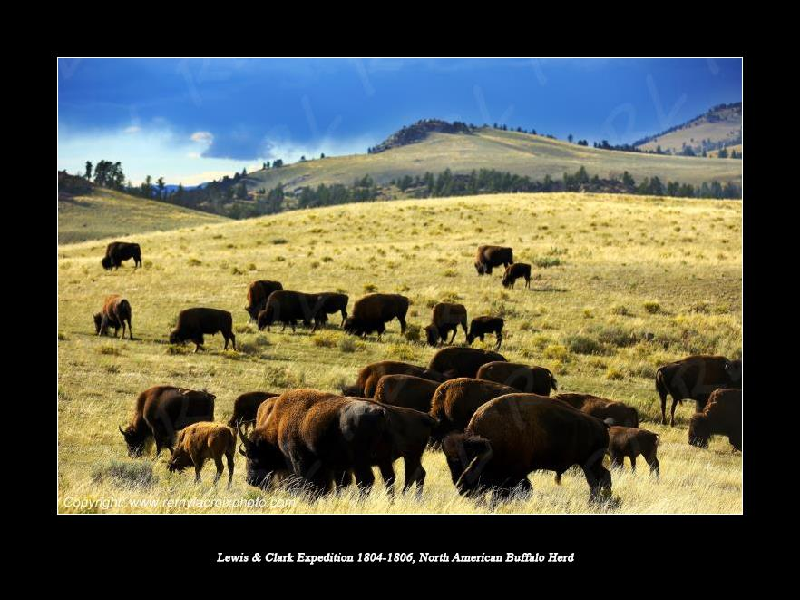 Lewis & Clark Expedition 1804-1806 North American Buffalo Herd
