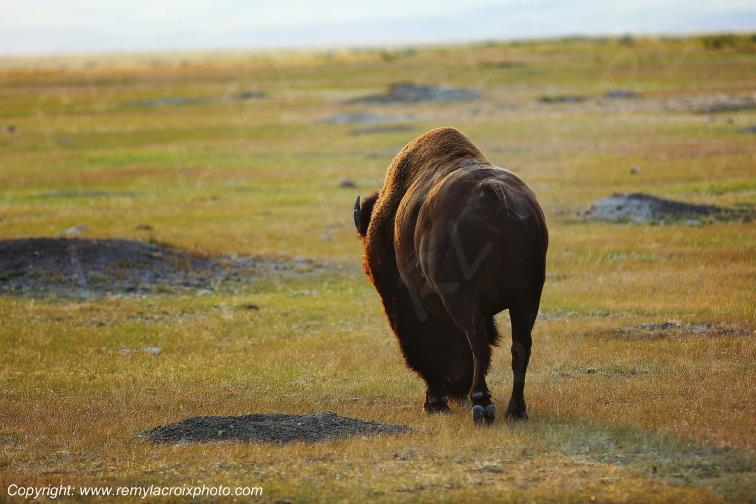 Bison,Grasslands National Park West,Saskatchewan,Canada