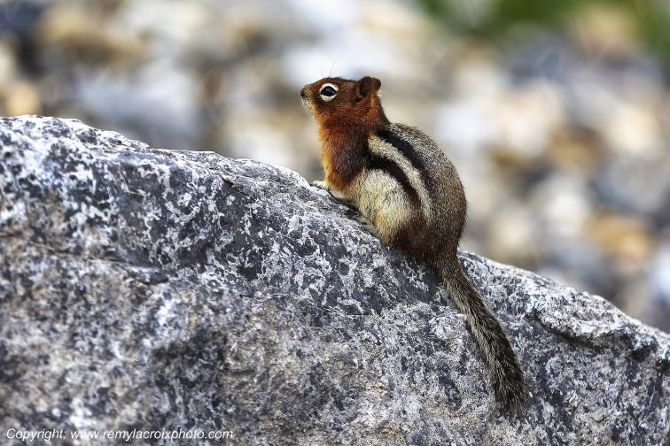 Golden-mantled Ground Squirrel,Kootenay National Park,British Columbia,Canada