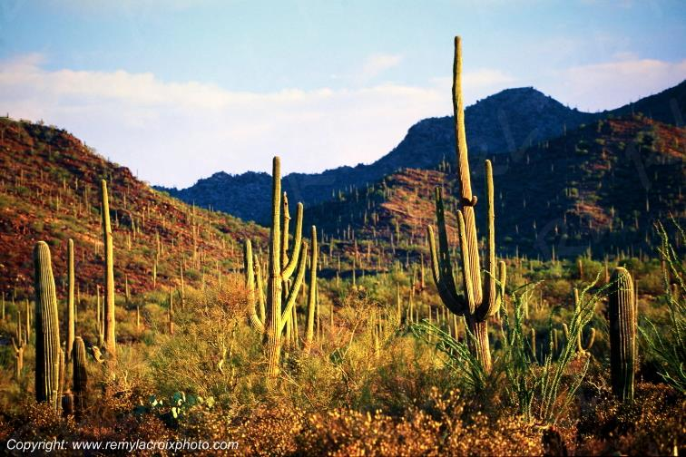 Saguaro National Monument Giant cactus Arizona USA