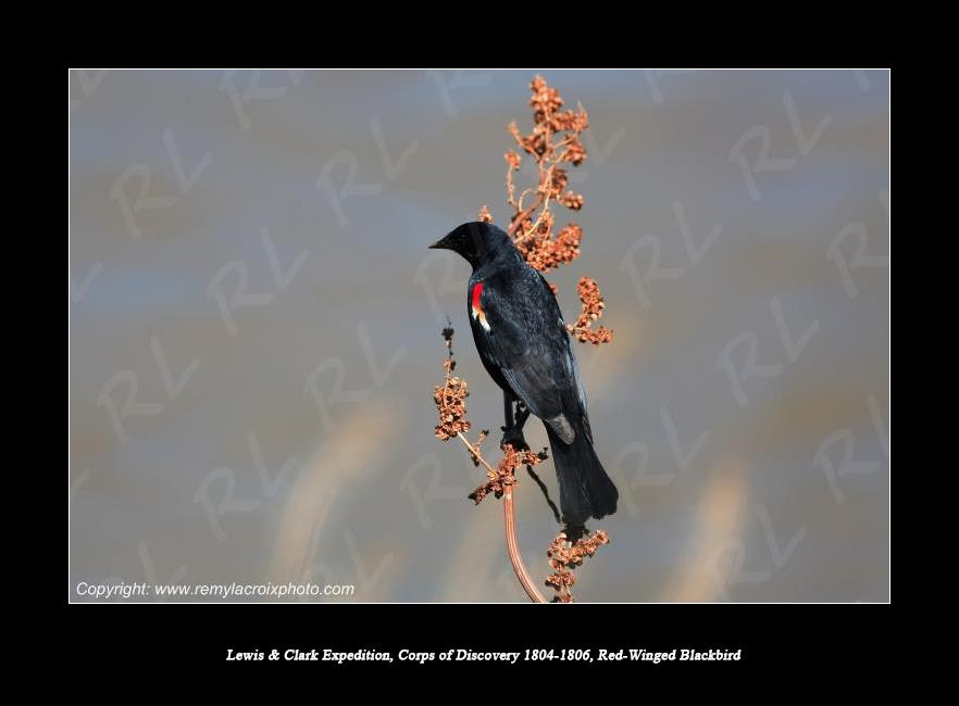 Lewis & Clark Expedition 1804-1806 Red-Winged Blackbird Nebraska USA