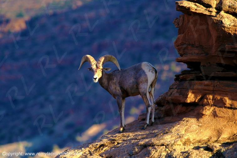 Bighorn Sheep Mouflon d'Amérique Arches National Park Utah USA