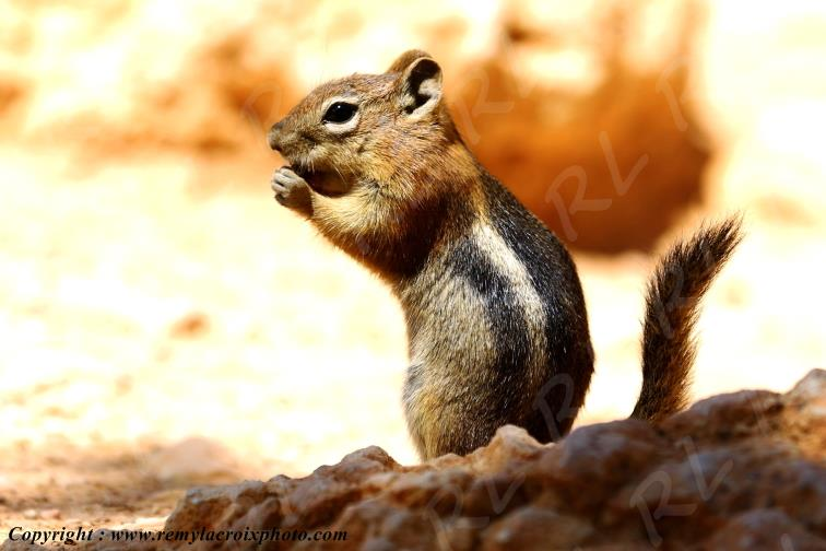 Golden Mantled Ground Squirrel Bryce Canyon Utah USA