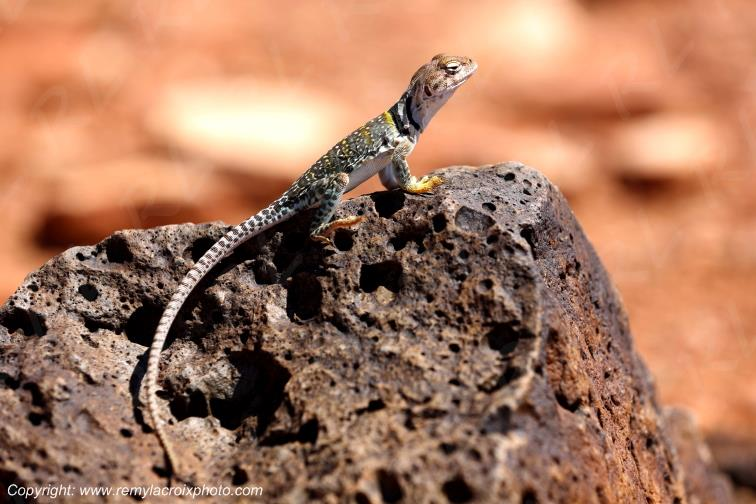 Earless lizard,Wupatki Pueblo National Monument,Arizona,USA