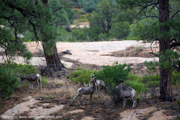 Mountain Goats Zion National Park Utah USA