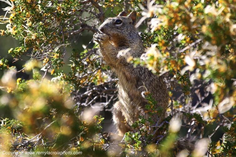 Squirrel,Grand Canyon National Park,Arizona,USA