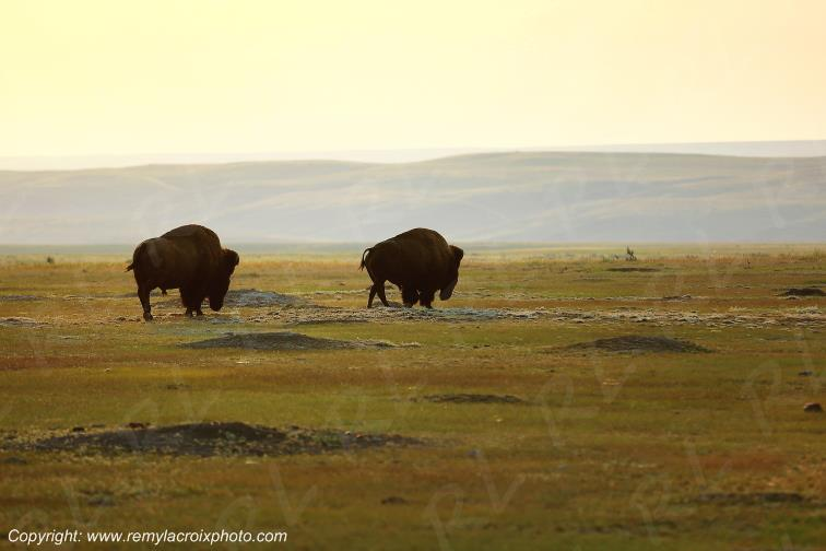 Bisons,Grasslands National Park West,Saskatchewan,Canada