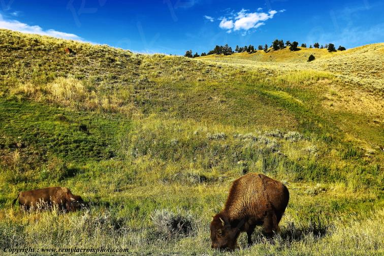 Bisons,Lamar Valley,Yellowstone Nat'l Park,Wyoming,USA