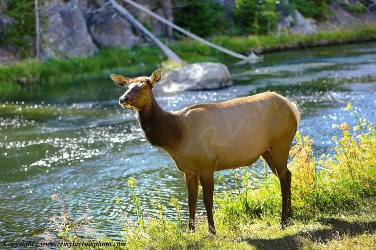 Wapiti,Yellowstone Lake,Yellowstone Nat'l Park,Wyoming,USA