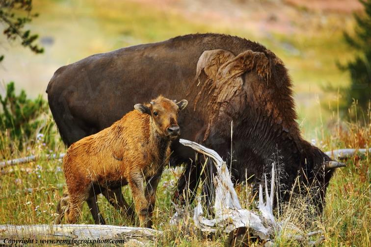Bisons,Hayden Valley,Yellowstone Nat'l Park,Wyoming,USA