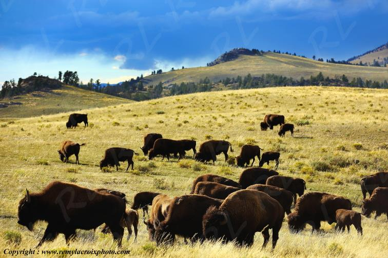 Bisons vers Tower-Roosevelt,Yellowstone Nat'l Park,Wyoming,USA